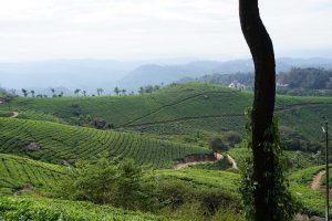 Tea fields in Munnar, India